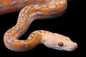 Captive Bred Reticulated Python